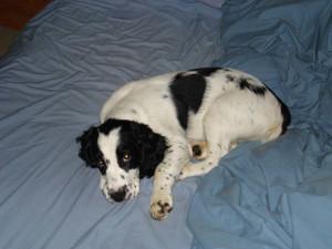 Chester-Springer Spaniel Puppy for sale 05