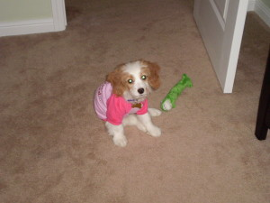 Maggie: Cockapoo Puppy Picture for sale 01