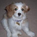 Maggie – Cockapoo Puppy Testimonial