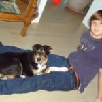 Sheltie/Collie cross breed puppy 02
