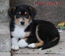 Sheltie x Collie mix puppy 04