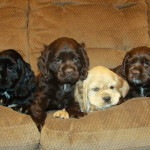 Look at the cute faces: of American Cocker Spaniel Puppies we had for sale