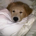 Golden Retriever Newfoundland Puppy For Sale 02