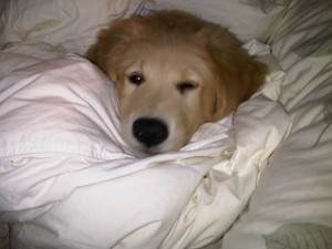 Golden Retriever Newfoundland Puppy For Sale 02