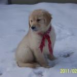 Sweet Little Golden Retriever Pup For Sale 2weeks 004
