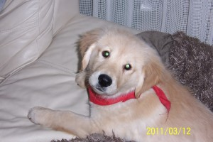One of our Golden Retriever Pups For Sale - Rylie at Padstow 014