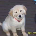 Golden Retriever Puppy For Sale Week3 007