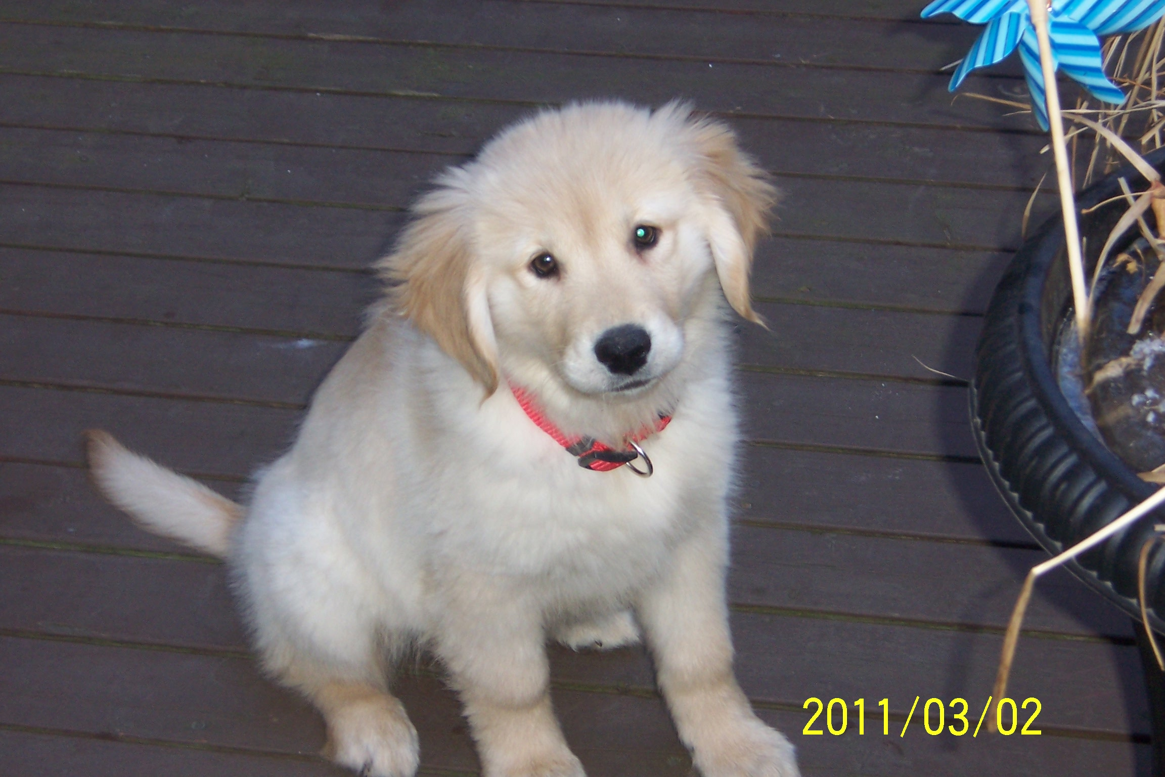 Golden retriever pup for sale 2weeks 004 puppies for sale dogs for