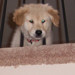 Rylie - Golden Retriever Pup For Sale Week3 010