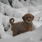 Sam the Goldendoodle Puppy