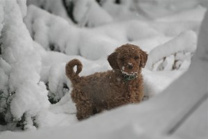 Goldendoodle puppy for sale - Sam 1st Snow