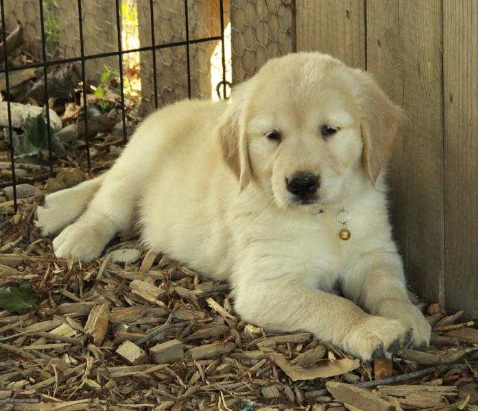 Golden retriever puppies for sale quebec