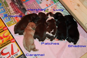 Our Cute Litter of American Cocker Spaniel Puppy we had for sale