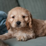 Lola-Cockapoo Puppy Picture 01
