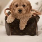 Lola – Sweet Cockapoo Puppy