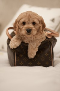 Lola-Cockapoo Puppy Picture 02