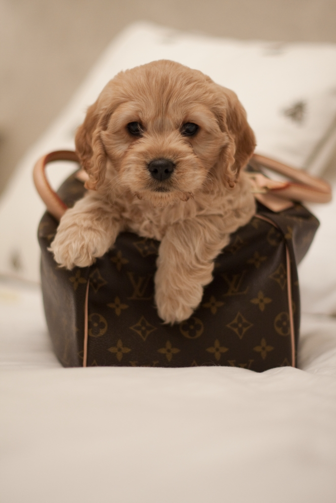 Teddy Bear Cockapoo For Sale Off 53 Ipartner Com Ng