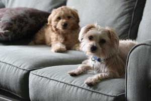 Lola-Cockapoo Puppy Picture 03