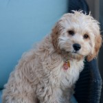 Lola-Cockapoo Puppy Picture 04