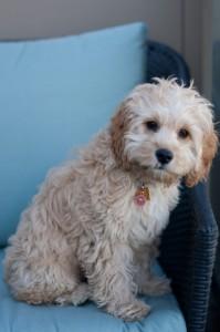 Lola-Cockapoo Puppy Picture 04