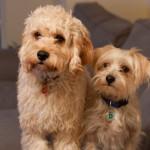 Lola-Cockapoo Puppy Picture 06