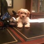 Cockapoo Puppy Testimonial – Max