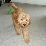 Oscar a Mini Labradoodle Puppy Testimonial