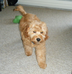 Oscar the mini labradoodle puppy we had for sale