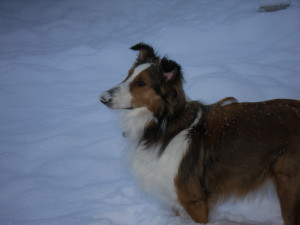 Curious Puppies Testimonial-Sheltie-Collie Puppies for sale 01