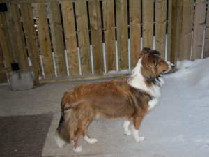 Curious Puppies Testimonial-Sheltie-Collie Puppies for sale 02