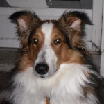 Rocky: Sheltie/Collie Mix Breed Puppy Testimonial