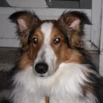 Rocky: Sheltie/Collie Mix Breed Puppy Testimonial