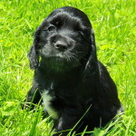 Shadow – Georgia's American Cocker Spaniel Puppy we had for sale