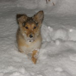 Sharky – One of our Sheltie Pups we had for sale