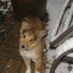 Puppy Testimonial: Sheltie Puppies For Sale - Pup age 14 weeks 02