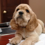 Caramel - Now Trigger - One of Georgia's American Cocker Spaniel Puppy for sale