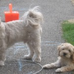 Twyla - Cockapoo Puppy For Sale 03