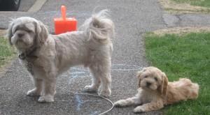 Twyla - Cockapoo Puppy For Sale 03