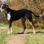 Walkerhound Blue Heeler Puppy