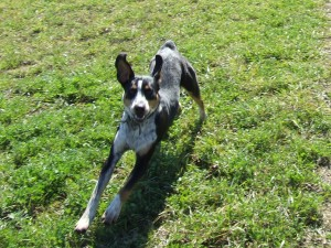 Charlie: One of our Walkerhound/Blue Heeler Puppies for sale