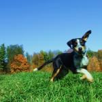 Charlie a Walkerhound-Blue Heeler Mix Puppy Testimonial