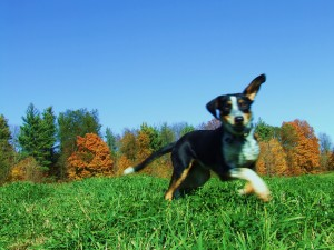 Walkerhound Blue Heeler - Puppy Breeders in Ontario