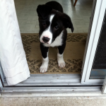 Nero – Border Collie Mix Breed Puppy
