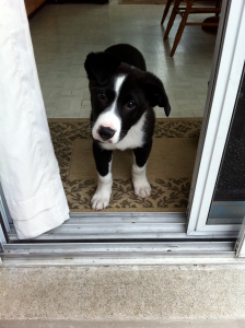 Nero - Border collie cross puppy 01
