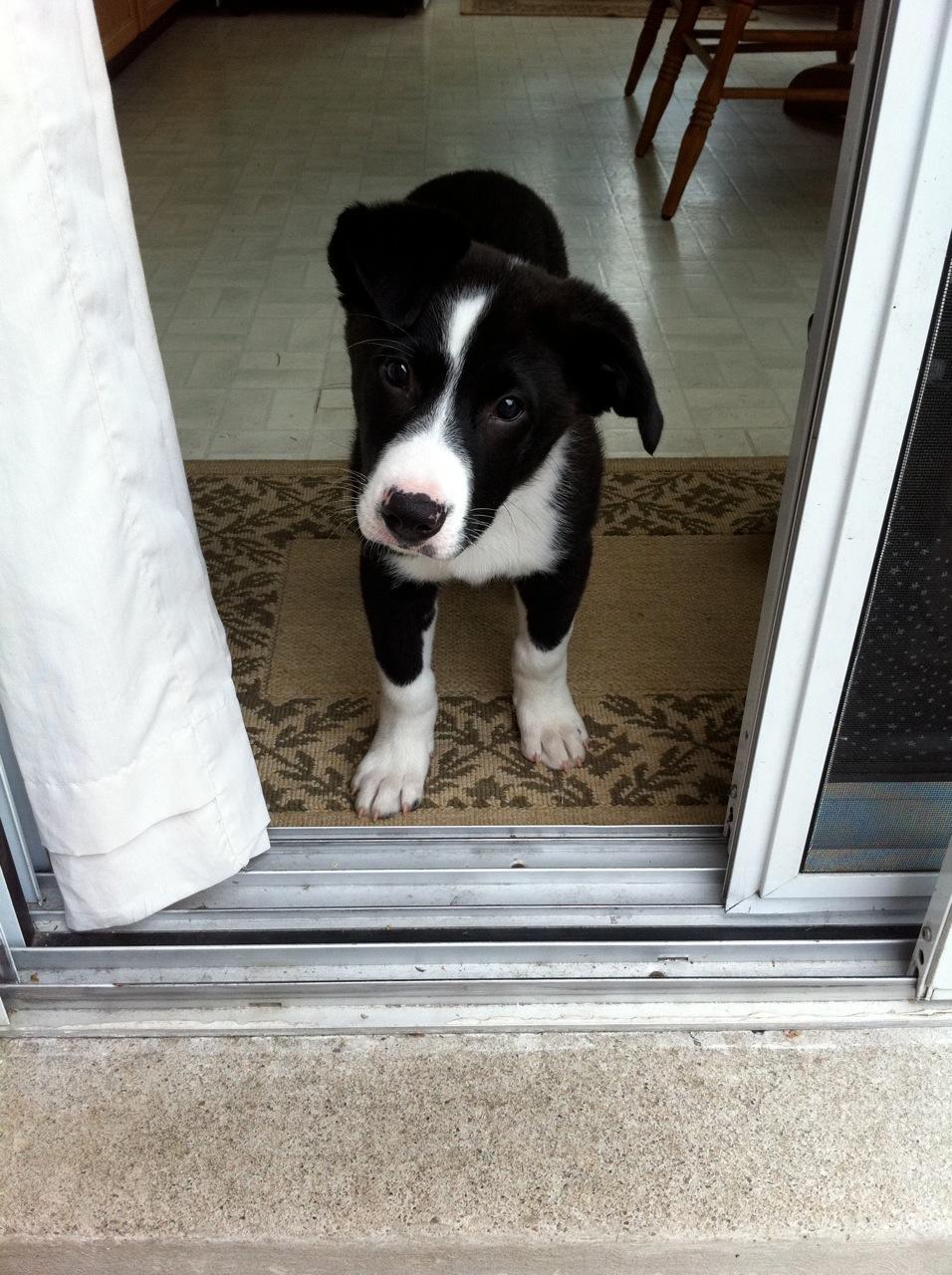 Nero – Border Collie Mix Breed Puppy