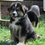 German shepherd x collie puppy