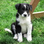 Super sweet border collie cross puppy, heart-melting!