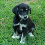 border collie cross husky puppy for sale
