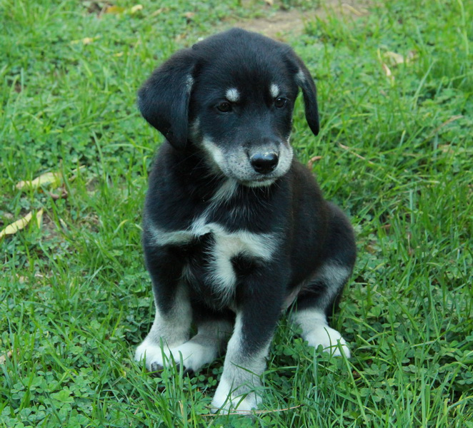 border collie cross husky puppy for sale : Puppies for ...