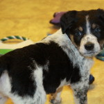 collie blue heeler cross